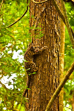 Clouded leopard (Neofelis nebulosa) climbing tree, Assam, India, captive.