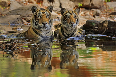 Bengal tiger (Panthera tigris) female 'T19 Krishna' with juvenile in water, Ranthambhore, India