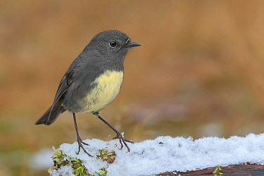 South Island robin (Petroica australis australis) perched on snow covered log. Arthur's Pass National Park, South Island, New Zealand. May.