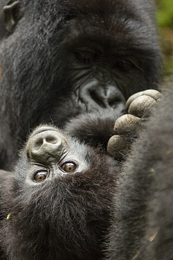 Mountain gorilla (Gorilla beringei beringe) female with baby age, 4 months, Volcanoes National Park, Rwanda