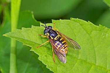 Hoverfly  (Chrysotoxum cautum)  Brockley Cemetery, Lewisham, London, England, UK, June.
