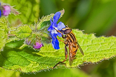 Sunfly hoverfly (Helophilus pendulus) feeding on Green alkanet (Pentaglottis sempervirens)  Beverley Court Gardens, Lewisham, London, England, UK. April.