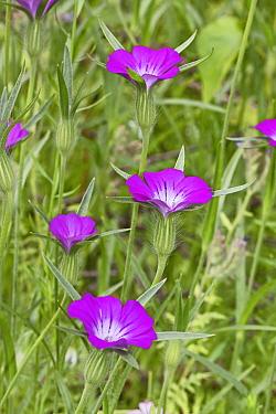 Corncockle  (Agrostemma githago) flowers, Brockley Cemetery, Lewisham, London, England, UK, June.