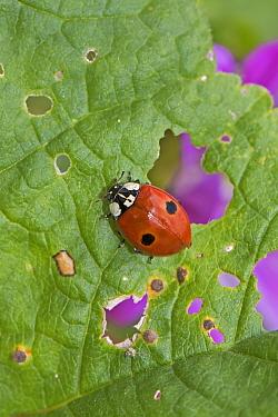 2-spot ladybird (Adalia bipunctata) Warwick Gardens, Peckham, London, London, England, UK. June.