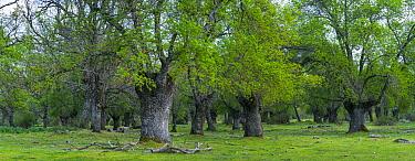 Ash (Fraxinus excelsior) woodland, Herreria Forest, San Lorenzo de El Escorial, Madrid, Spain. April, 2017.