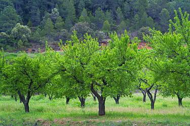 Almond (Prunus amygdalus) trees, Horta de San Joan, The Ports Natural Park, Terres de l'Ebre, Catalonia, Spain. April 2017.