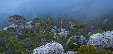 Scots pine (Pinus sylvestris) forest in Caro Mountain Range, The Ports Natural Park, Terres de l'Ebre, near Tarragona, Catalonia, Spain. April 2017.