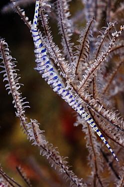 Banded tozeuma shrimp (Tozeuma armatum) on Black Coral (Antipathes sp.), Triton Bay, near Kaimana, West Papua, Indonesia