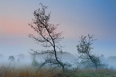 Oak (Quercus robur) at dawn, Klein Schietveld, Brasschaat, Belgium