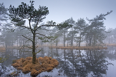 Scots pine trees (Pinus sylvestris) on island in wetlands,  Klein Schietveld, Brasschaat, Belgium
