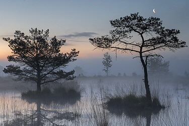 Scots pine trees (Pinus sylvestris) in wetlands at dawn with the moon, Klein Schietveld, Brasschaat, Belgium