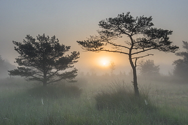 Scots pine tree (Pinus sylvestris) at sunrise, Klein Schietveld, Brasschaat, Belgium. September.
