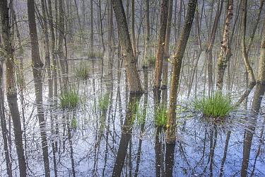 Trees reflected in marshland, Peerdsbos, Brasschaat, Belgium