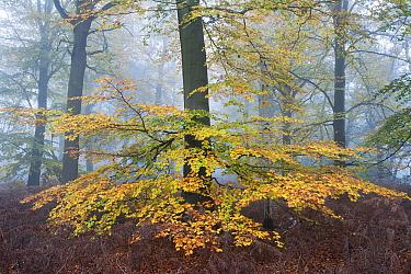 Beech woodland (Fagus sylvatica) Peerdsbos, Brasschaat, Belgium, November.