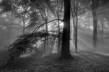 Beech woodland (Fagus sylvatica) with sun rays shining through, black and white image.  Peerdsbos, Brasschaat, Belgium