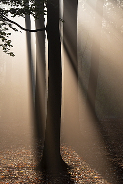Beech woodland (Fagus sylvatica) Peerdsbos, Brasschaat, Belgium