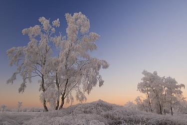 Birch tree (Betula pendula) covered in hoar frost, Groot Schietveld, Wuustwezel, Belgium, December 2007.