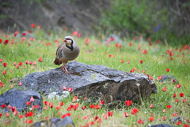 Chuckar partridge (Alectoris chukar) among red flowers, Pamyr, Tajikistan. April.
