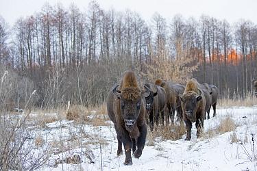 European bison (Bison bonasus) herd in snow, Bryansk, Central Federal District, Russia. January.