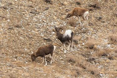 Altai argali sheep (Ovis ammon ammon) herd grazing, Altai Mountains, Mongolia. November.