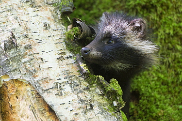 Raccoon dog (Nycterentes procyonoides) peering round tree trunk, Vladivostok, Primorsky Krai, Far East Russia. July.