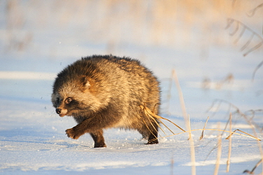 Raccoon dog (Nycterentes procyonoides) walking across snow,  Vladivostok, Primorsky Krai, Far East Russia. November.
