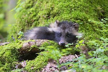 Raccoon dog (Nycterentes procyonoides) resting in mossy tree, Vladivostok, Primorsky Krai, Far East Russia. July.