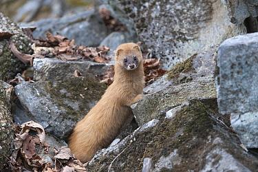 Siberian weasel (Mustela sibirica) on rocks, Khabarovsk, Far East Russia.  April.