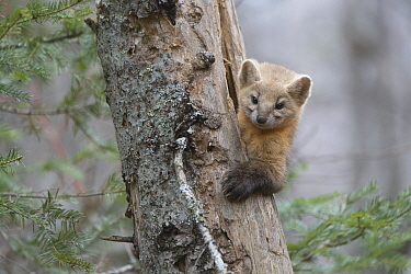Sable (Martes zibellina) climbing out of tree trunk,  Irkutsk, Siberia, Russia. November.