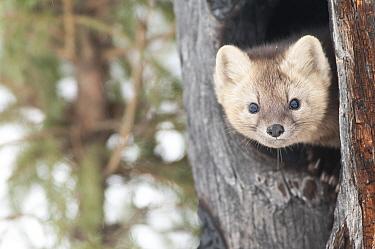 Sable (Martes zibellina) peering from tree trunk, Irkutsk, Siberia, Russia. November.