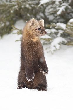 Sable (Martes zibellina) standing on hind legs in snow, Irkutsk, Siberia, Russia. November.