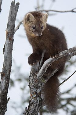 Sable (Martes zibellina) in tree, Irkutsk, Siberia, Russia. November.