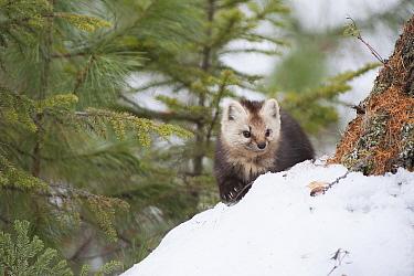 Sable (Martes zibellina) Irkutsk, Siberia, Russia. March.