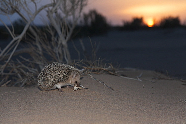 Long-eared hedgehog (Hemiechinus auritus) at sunset, Gobi Desert, Mongolia. May.