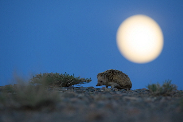Long-eared hedgehog (Hemiechinus auritus) at night with the moon, Gobi Desert, Mongolia. May.
