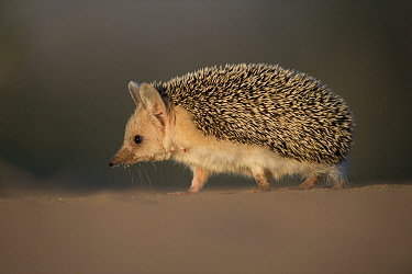 Long-eared hedgehog (Hemiechinus auritus) Gobi Desert, Mongolia. May.