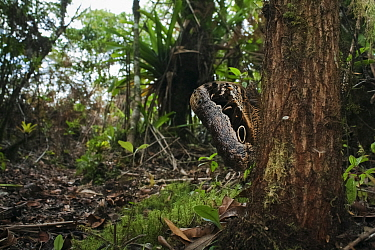 Owl butterfly (Caligo sp), Intervales State Park, Sao Paulo, Atlantic Forest South-East Reserves, UNESCO World Heritage Site, Brazil.