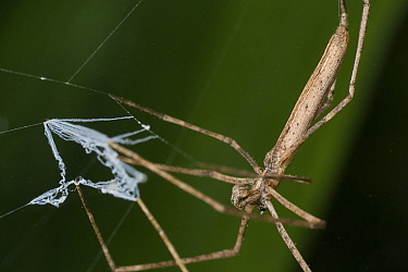 Net casting spider (Deinopis sp) with web to capture prey, Intervales State Park, Sao Paulo, Atlantic Forest South-East Reserves, UNESCO World Heritage Site, Brazil.
