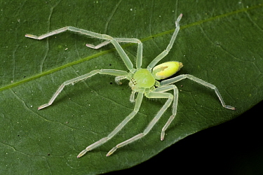 Green huntsman spider (Olios sp), Intervales State Park, Sao Paulo, Atlantic Forest South-East Reserves, UNESCO World Heritage Site, Brazil.