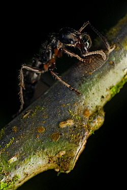 Predatory ant (Ponerinae sp) farming Scale bugs, Intervales State Park, Sao Paulo, Atlantic Forest South-East Reserves, UNESCO World Heritage Site, Brazil.