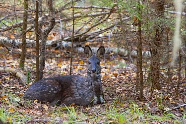 Siberia,n musk deer (Moschus moschiferus) Irkutsk, Siberia, Russia. October.