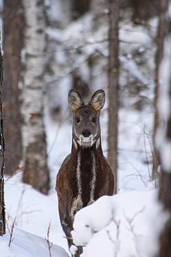 Siberia,n musk deer (Moschus moschiferus) in snowy woodland, Irkutsk, Siberia, Russia. December.