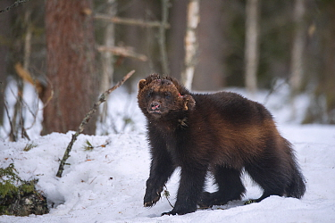 Wolverine (Gulo gulo) in snow, Finland. April.
