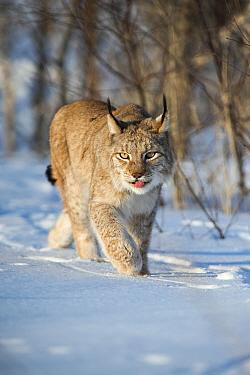 Eurasian lynx (Lynx lynx) walking in snow, Yaroslavl, Central Federal District, Russia. March.