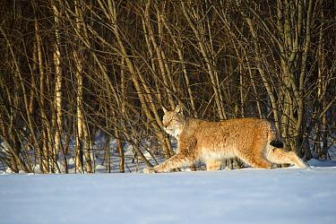 Eurasian lynx (Lynx lynx) walking in snow, Yaroslavl, Central Federal District, Russia. February.