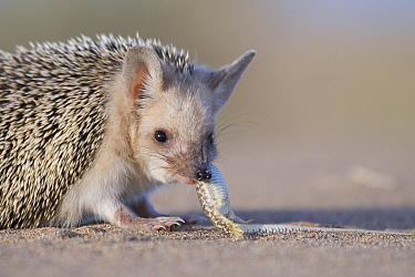 Long-eared hedgehog (Hemiechinus auritus) feeding on lizard prey, Gobi Desert, Mongolia. May.