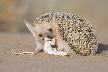 Long-eared hedgehog (Hemiechinus auritus) feeding on lizard prey, Gobi Desert, Mongolia. June.