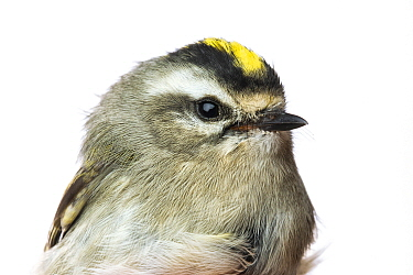 Portrait of a Golden-crowned kinglet (Regulus satrapa) with white background,  Block island, Rhode Island, USA. Bird caught during scientific research.