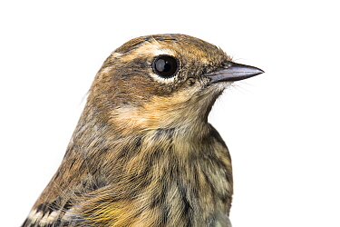 Portrait of a Myrtle warbler (Dendroica coronata coronata) with white background,  Block island, Rhode Island, USA. Bird caught during scientific research.