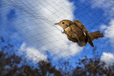 Hermit thrush (Catharus guttatus)  caught in a mist net.  Block island, Rhode Island, USA.